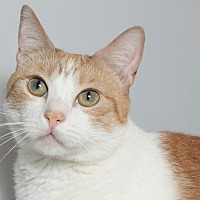 Domestic Shorthair Cat for adoption in Los Angeles, California - Obi