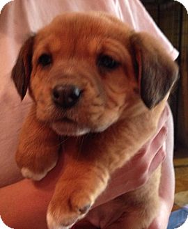 Beagle/Hound (Unknown Type) Mix Puppy for adoption in Olive Branch, Mississippi - Millington Pup #7-Girl