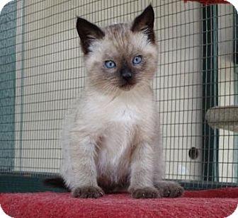 Domestic Shorthair Kitten for adoption in Lathrop, California - Bentley