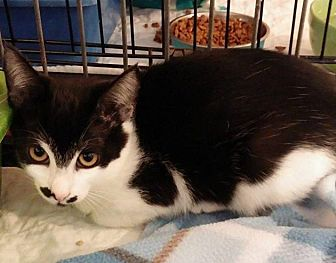 Domestic Shorthair Cat for adoption in Middletown, New York - Chaplin