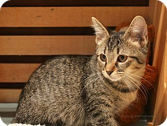 Domestic Shorthair Kitten for adoption in East Hartford, Connecticut - Leia (arriving 8/19)