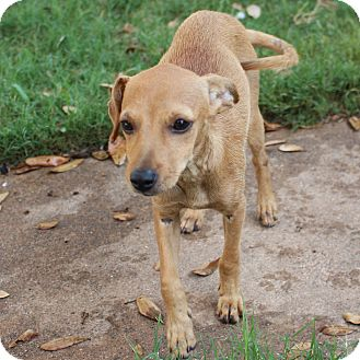 Chihuahua/Dachshund Mix Puppy for adoption in Snyder, Texas - Stacey