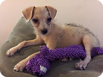 Terrier (Unknown Type, Small) Mix Puppy for adoption in Harrisburg, North Carolina - Linus