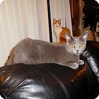 Russian Blue Cat for adoption in Los Angeles, California - Duchess