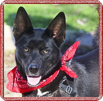 Husky/German Shepherd Dog Mix Dog for adoption in Sacramento, California - Sophia beauty, smart gal