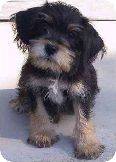 Cocker Spaniel/Terrier (Unknown Type, Medium) Mix Puppy for adoption in Mountain Home, Arkansas - Razz