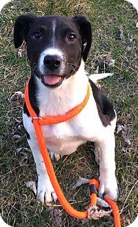 Spaniel (Unknown Type)/Labrador Retriever Mix Puppy for adoption in Lisbon, Iowa - Alfie