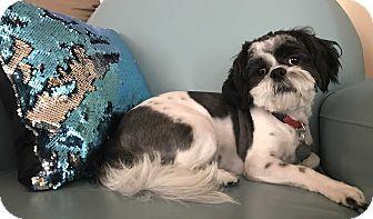 Shih Tzu Dog for adoption in Fort Atkinson, Wisconsin - BENTLEY