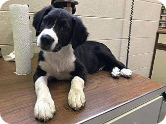 Spaniel (Unknown Type) Mix Puppy for adoption in Lima, Pennsylvania - Harry