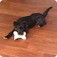 Adopt A Pet :: Kiki - Dallas, TX
