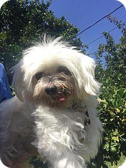 Maltese Dog for adoption in Fullerton, California - Kobe
