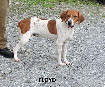 English (Redtick) Coonhound Mix Dog for adoption in Washington, Georgia - Floyd