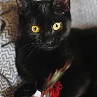 Adopt A Pet :: KiKi the Loving Kitten - Oviedo, FL