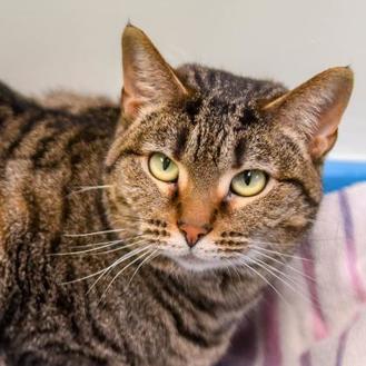 Domestic Shorthair/Domestic Shorthair Mix Cat for adoption in Batavia, Ohio - Robbinn