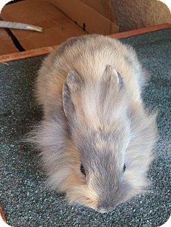 Lionhead Mix for adoption in Cerritos, California - Bunny 2