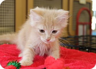 Domestic Shorthair Kitten for adoption in Las Vegas, Nevada - BATES