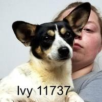 Jack Russell Terrier Mix Dog for adoption in Manassas, Virginia - Ivy