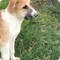 Adopt A Pet :: Alexander - Thousand Oaks, CA
