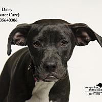 Adopt A Pet :: Daisey  (Foster Care) - Baton Rouge, LA