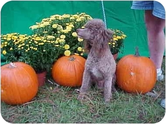 Poodle (Miniature) Dog for adoption in Conroe, Texas - Toby
