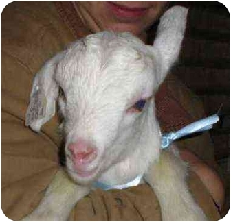 Goat for adoption in Sac, California - Snow