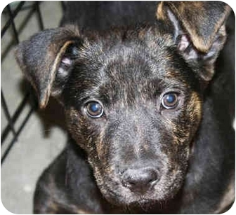 Shepherd (Unknown Type)/Bulldog Mix Puppy for adoption in Marietta, Georgia - Subway