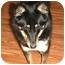 Photo 2 - Sheltie, Shetland Sheepdog/Spitz (Unknown Type, Small) Mix Dog for adoption in Columbia Falls, Montana - Chelsea