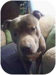 American Staffordshire Terrier Mix Dog for adoption in Strongsville, Ohio - Blue