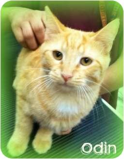 Domestic Shorthair Kitten for adoption in Orlando, Florida - Odin