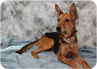 Basenji Mix Dog for adoption in Columbia, Illinois - Bella
