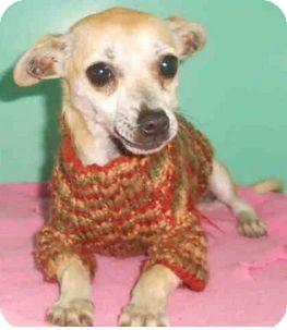 Chihuahua Mix Dog for adoption in Yuba City, California - 11/13 Tinker
