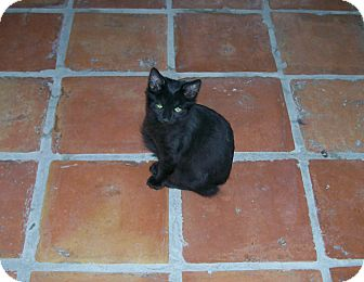 Domestic Shorthair Kitten for adoption in Scottsdale, Arizona - Buttercup