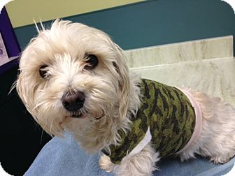 Maltese/Terrier (Unknown Type, Small) Mix Dog for adoption in Orange, California - Buddy