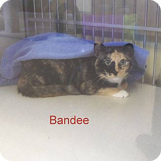 Domestic Shorthair Cat for adoption in Slidell, Louisiana - Bandee