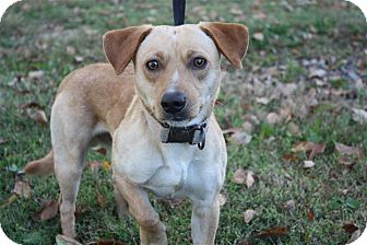 Jack Russell Terrier/Dachshund Mix Dog for adoption in Conway, Arkansas - Sammy