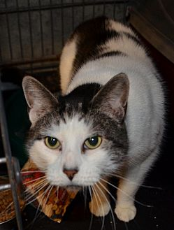 Domestic Shorthair Cat for adoption in Taftville, Connecticut - Ivy