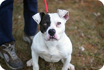 Pit Bull Terrier/American Bulldog Mix Dog for adoption in Springfield, Illinois - Bonnie - HEART SHAPED NOSE
