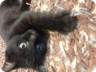 Domestic Shorthair Kitten for adoption in Des Moines, Iowa - Liam