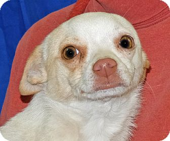 Chihuahua Mix Dog for adoption in Spokane, Washington - Sweetie