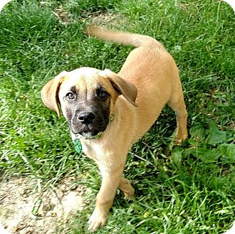 Labrador Retriever/Boxer Mix Puppy for adoption in Middletown, Delaware - Ra