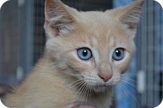 Domestic Shorthair Kitten for adoption in Edwardsville, Illinois - Ethel