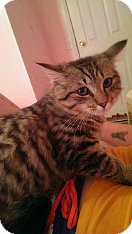 Domestic Shorthair Cat for adoption in Parkton, North Carolina - Ivy