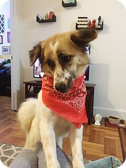 Border Collie Mix Dog for adoption in Long Beach, New York - Fern