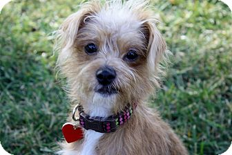 Brussels Griffon/Terrier (Unknown Type, Small) Mix Dog for adoption in Yorba Linda, California - Jenny - I do not shed!