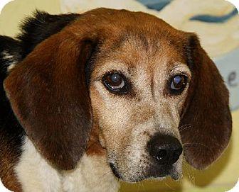 Beagle Dog for adoption in Lovingston, Virginia - Brownie