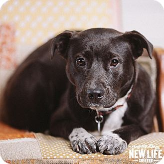 Labrador Retriever/Border Collie Mix Dog for adoption in Portland, Oregon - Sister