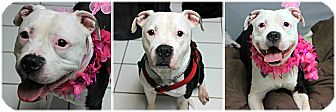 American Bulldog Mix Dog for adoption in Forked River, New Jersey - Sammy