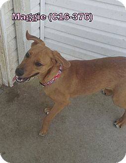 Pit Bull Terrier/Boxer Mix Puppy for adoption in Tiffin, Ohio - Maggie