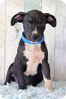 Boxer/Labrador Retriever Mix Puppy for adoption in Waldorf, Maryland - Perry
