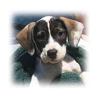 Boxer/Hound (Unknown Type) Mix Puppy for adoption in Huntley, Illinois - Abbey